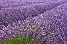Hoa Oải hương ở Provence-Alpes-Côte d'Azur, Pháp