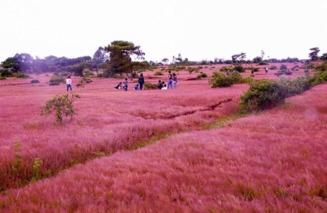 Đồi cỏ hồng đẹp như tranh ở Đà Lạt