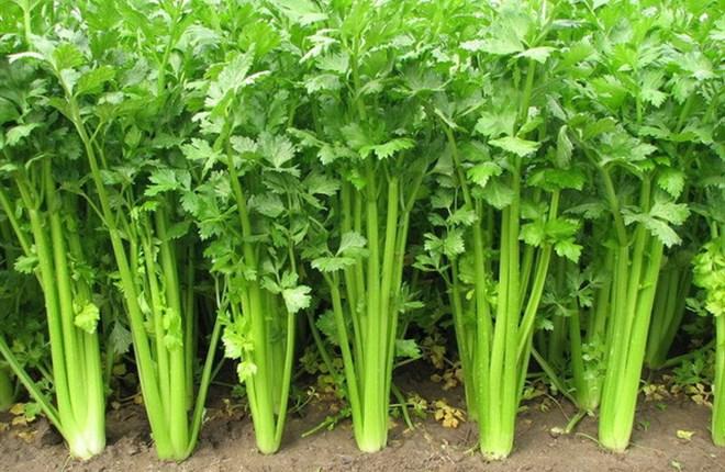 Công dụng của cần tây, cà chua, măng tây, actisô