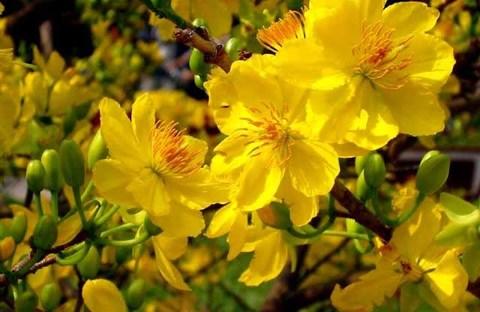 Tìm hiểu về hoa mai vàng Việt Nam - BS LÊ VĂN LÂN