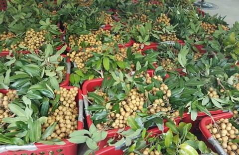 Nông dân Việt làm giàu bằng trái cây Việt tại Mỹ