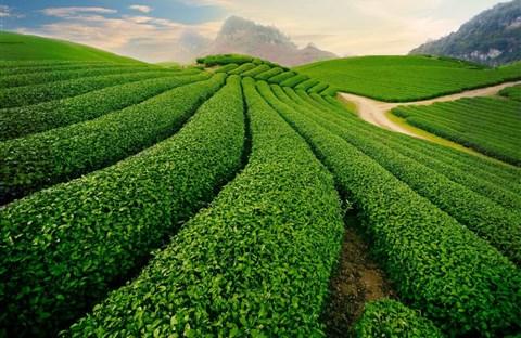 Từ tình yêu với cây trà Bảo Lộc