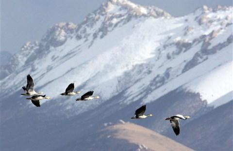 Những chim thiên di phi thường