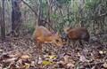 Việt Nam: Chụp được ảnh loài cheo cheo tưởng tuyệt chủng gần 30 năm qua