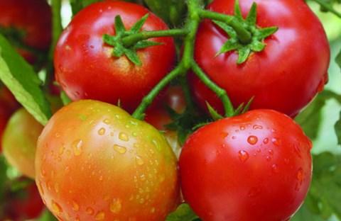 Cà chua và sức khỏe con người