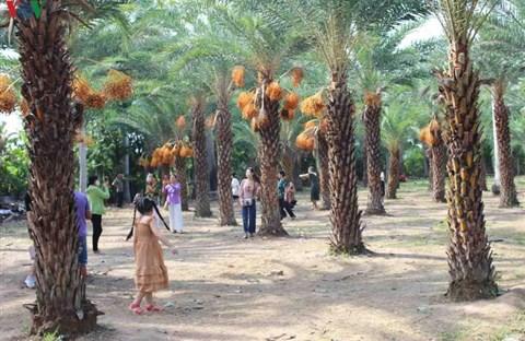 Chiêm ngưỡng vẻ đẹp của vườn chà là lớn nhất miền Tây