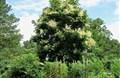 Cây ngô đồng là cây gì? Tác dụng và ý nghĩa trong phong thủy
