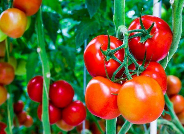 Cà chua và sức khỏe con người - 11