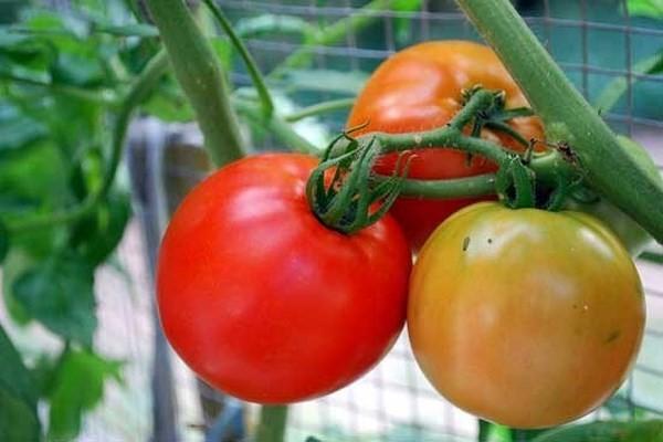 Cà chua và sức khỏe con người - 13
