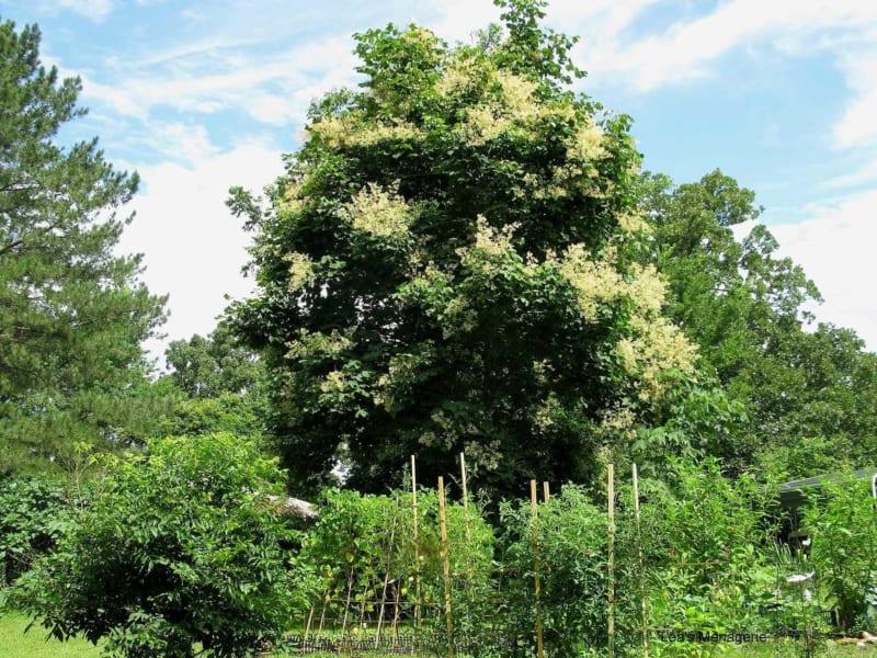 Cây ngô đồng là cây gì? Tác dụng và ý nghĩa trong phong thủy - 1