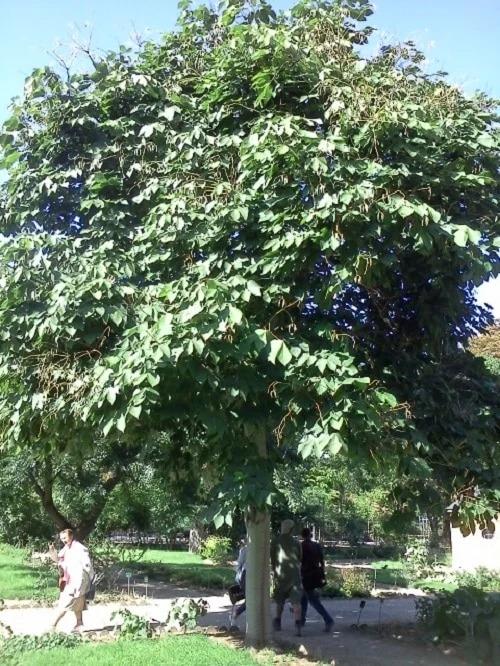 Cây ngô đồng là cây gì? Tác dụng và ý nghĩa trong phong thủy - 12