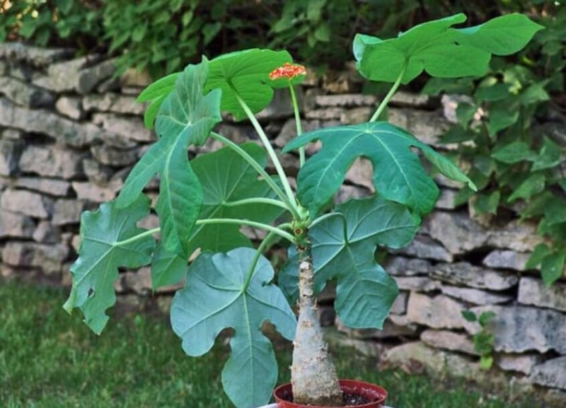 Cây ngô đồng là cây gì? Tác dụng và ý nghĩa trong phong thủy - 2