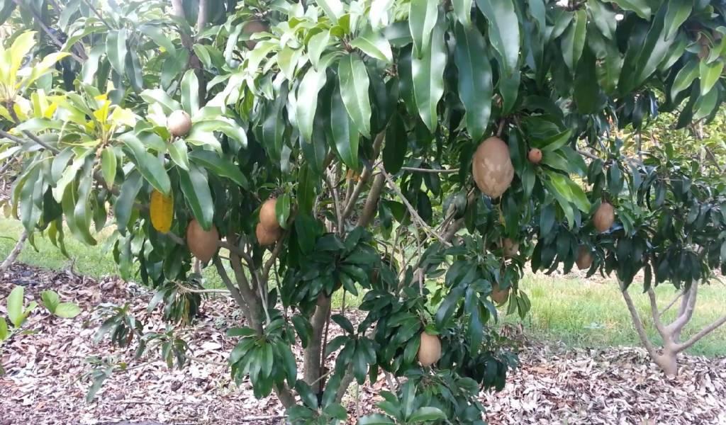 Nông dân Việt làm giàu bằng trái cây Việt tại Mỹ - 7