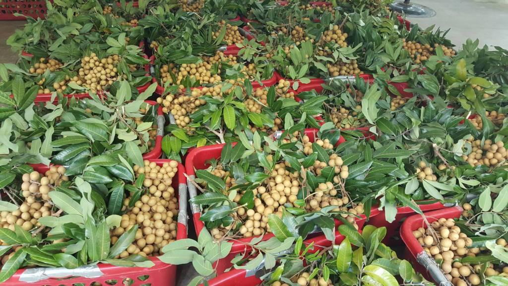 Nông dân Việt làm giàu bằng trái cây Việt tại Mỹ - 1