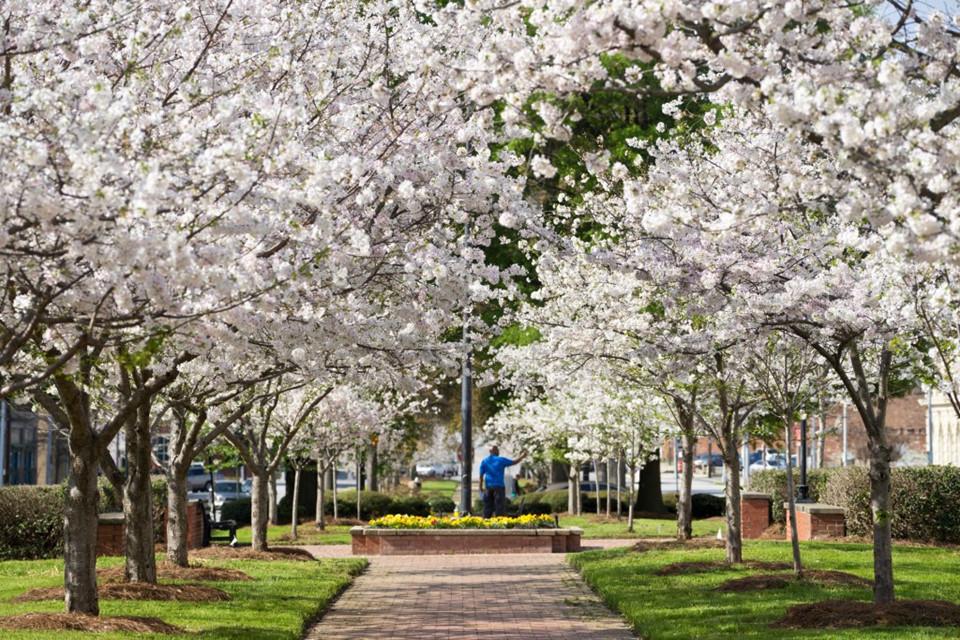 Thủ đô hoa anh đào của thế giới : thành phố Macon ở bang Georgia (Mỹ) - 2