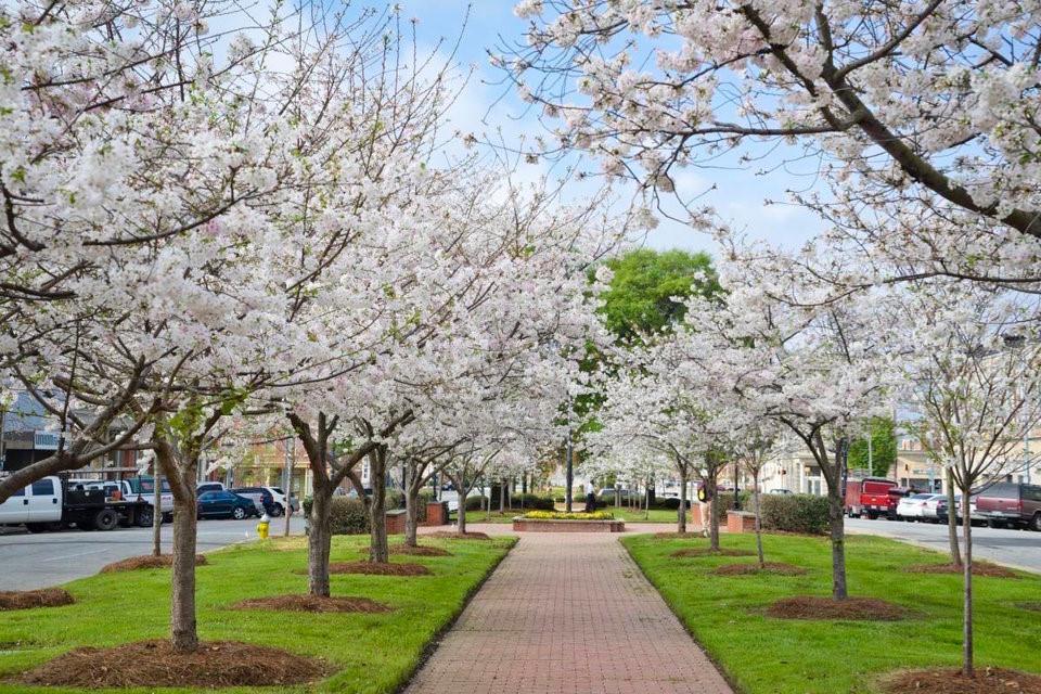 Thủ đô hoa anh đào của thế giới : thành phố Macon ở bang Georgia (Mỹ) - 6