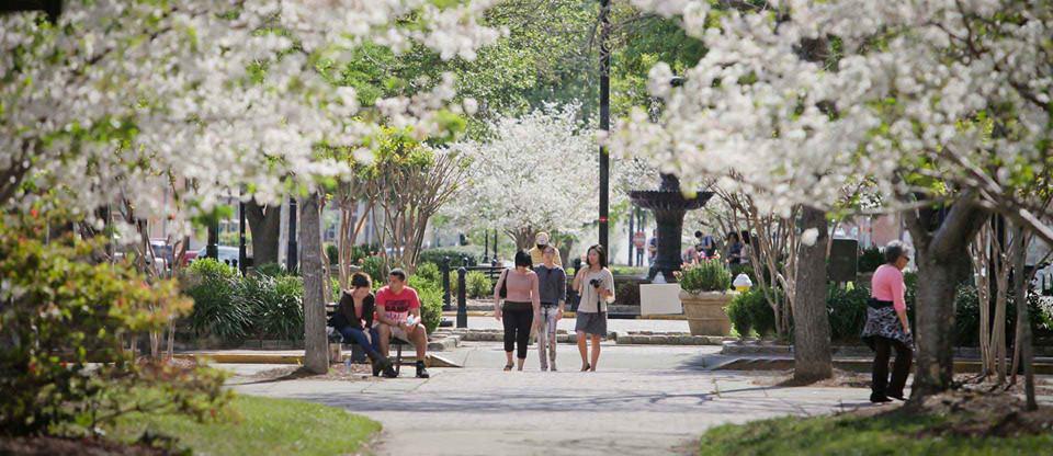 Thủ đô hoa anh đào của thế giới : thành phố Macon ở bang Georgia (Mỹ) - 4