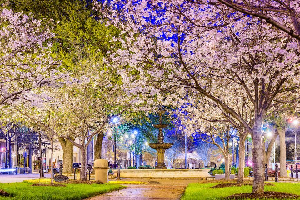 Thủ đô hoa anh đào của thế giới : thành phố Macon ở bang Georgia (Mỹ) - 9