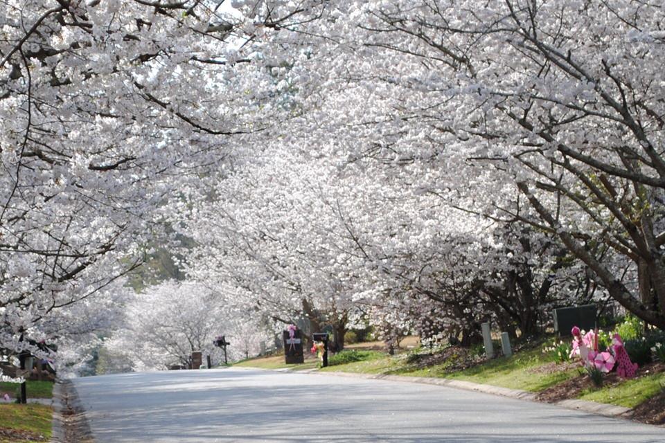 Thủ đô hoa anh đào của thế giới : thành phố Macon ở bang Georgia (Mỹ) - 3
