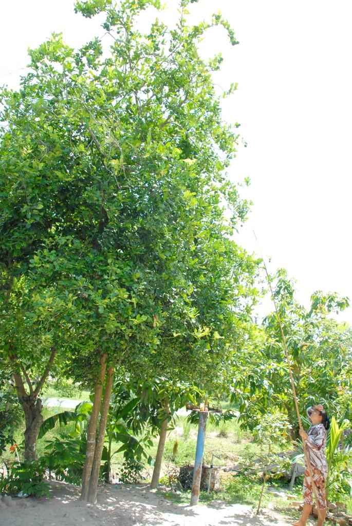 Cây Chúc (Chanh Thái Lan) - 5