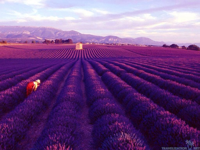 Thiên đường oải hương tràn sắc tím giữa lòng Provence - 6