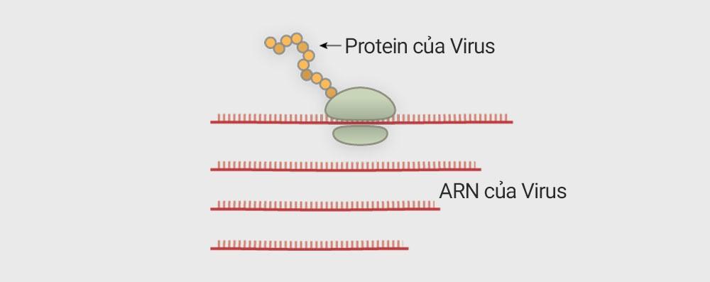 Virus corona tấn công tế bào người như thế nào? - 7