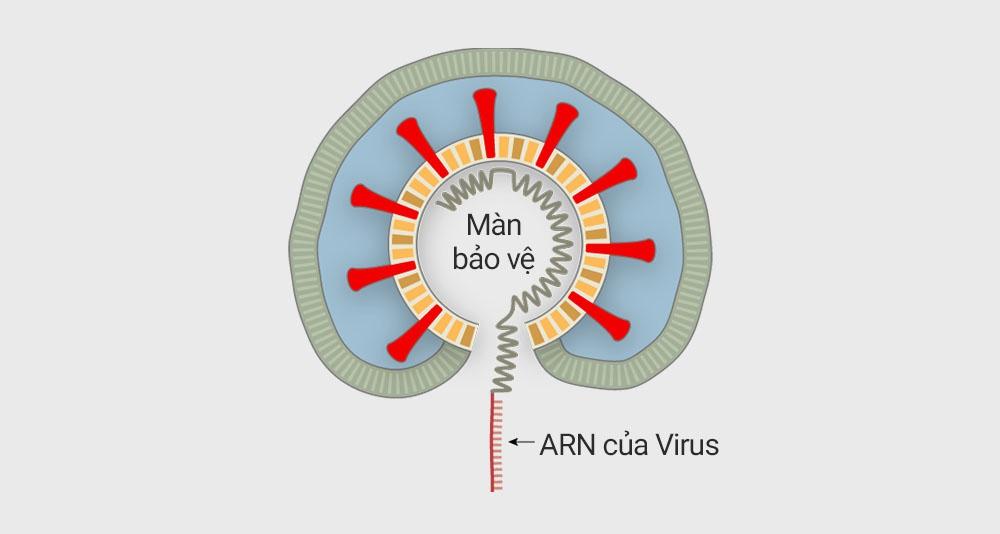 Virus corona tấn công tế bào người như thế nào? - 5