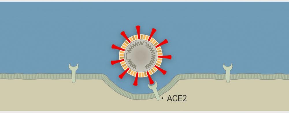 Virus corona tấn công tế bào người như thế nào? - 3