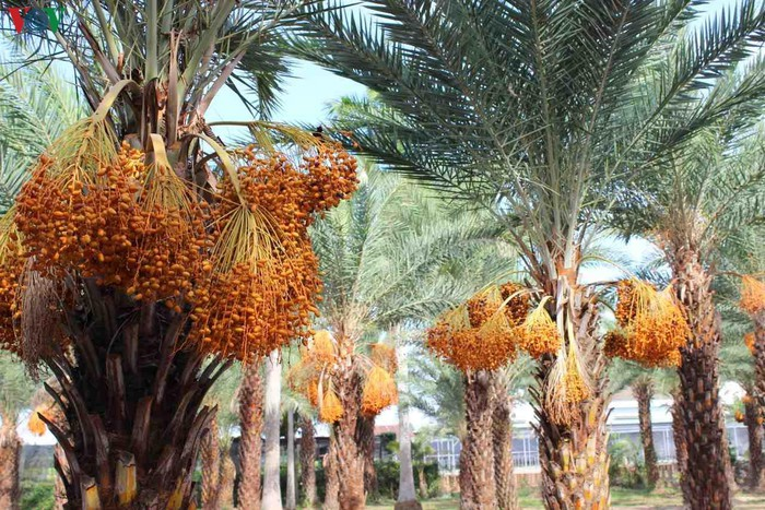 Chiêm ngưỡng vẻ đẹp của vườn chà là lớn nhất miền Tây - 5