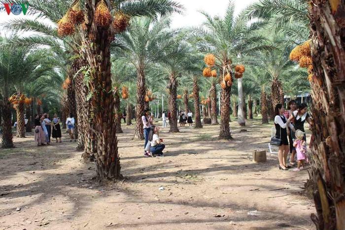 Chiêm ngưỡng vẻ đẹp của vườn chà là lớn nhất miền Tây - 1