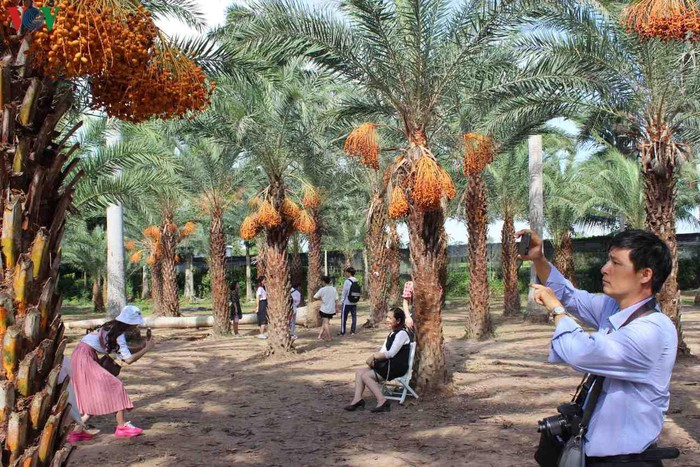 Chiêm ngưỡng vẻ đẹp của vườn chà là lớn nhất miền Tây - 7