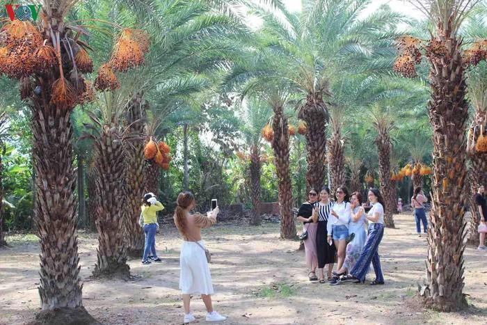 Chiêm ngưỡng vẻ đẹp của vườn chà là lớn nhất miền Tây - 3