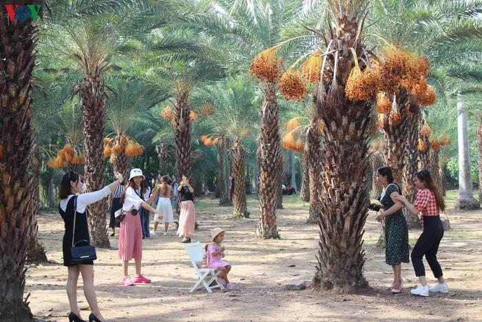 Chiêm ngưỡng vẻ đẹp của vườn chà là lớn nhất miền Tây - 8