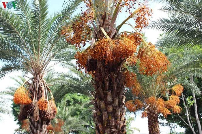 Chiêm ngưỡng vẻ đẹp của vườn chà là lớn nhất miền Tây - 14