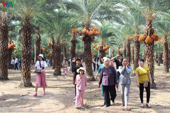 Chiêm ngưỡng vẻ đẹp của vườn chà là lớn nhất miền Tây - 16