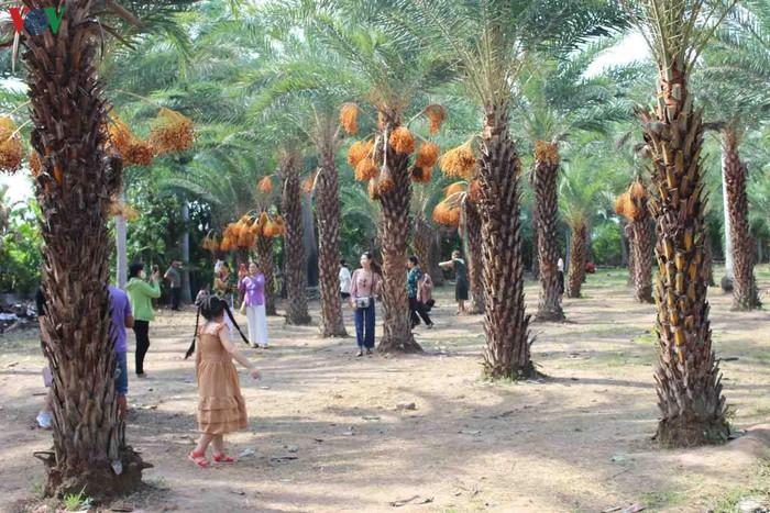 Chiêm ngưỡng vẻ đẹp của vườn chà là lớn nhất miền Tây - 6