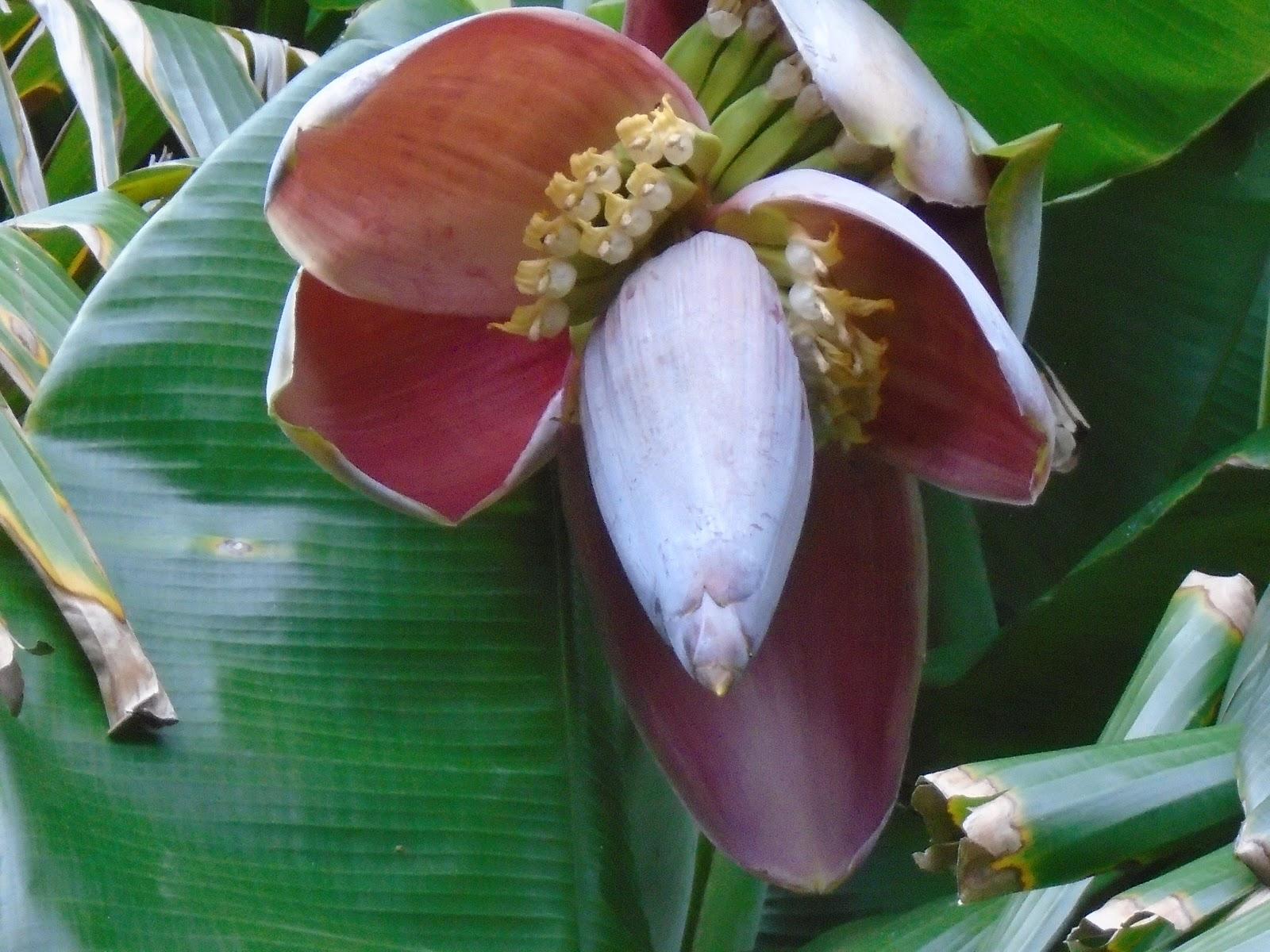 Bắp chuối (hoa chuối): loài rau cây nhà lá vườn trong bao ký ức - 1