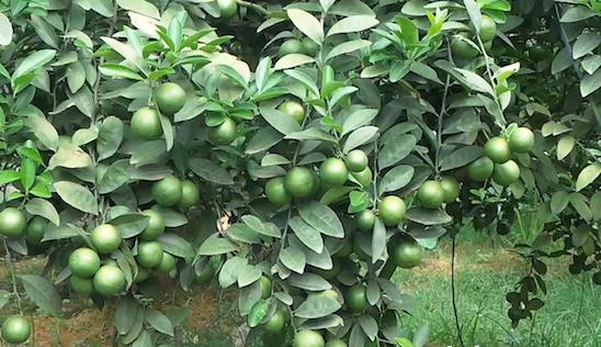 Đầu năm ăn quả thanh yên - 35