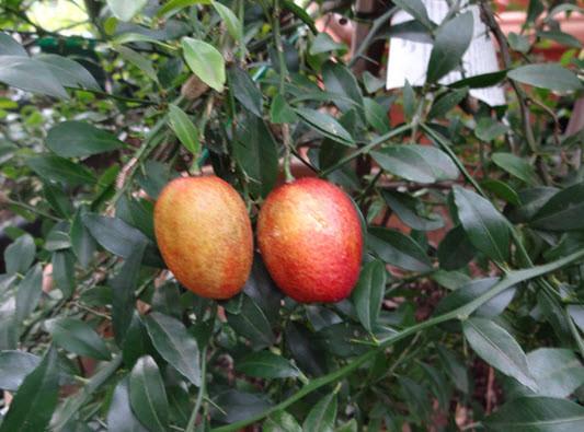 Đầu năm ăn quả thanh yên - 34