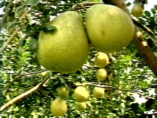 Đầu năm ăn quả thanh yên - 9