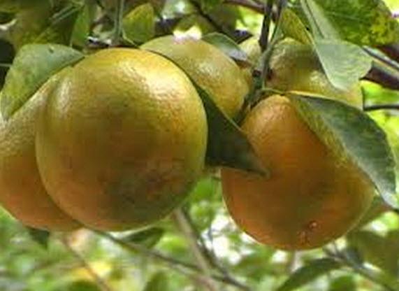 Đầu năm ăn quả thanh yên - 15
