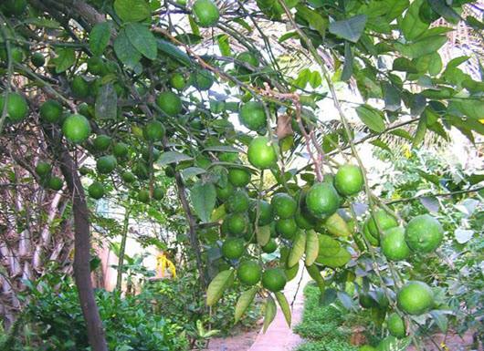 Đầu năm ăn quả thanh yên - 29