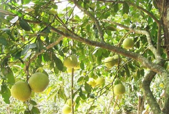 Đầu năm ăn quả thanh yên - 7