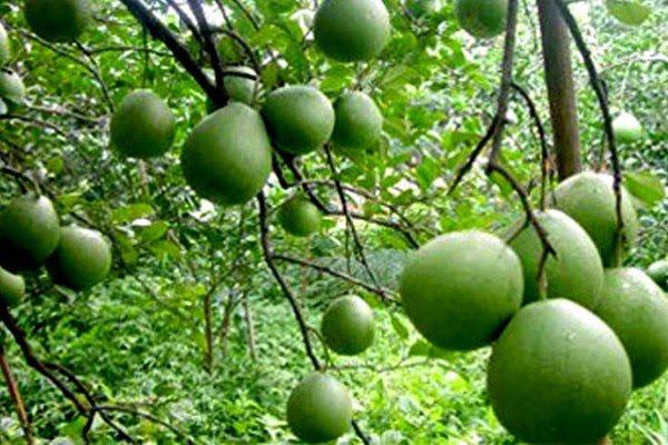 Đầu năm ăn quả thanh yên - 3