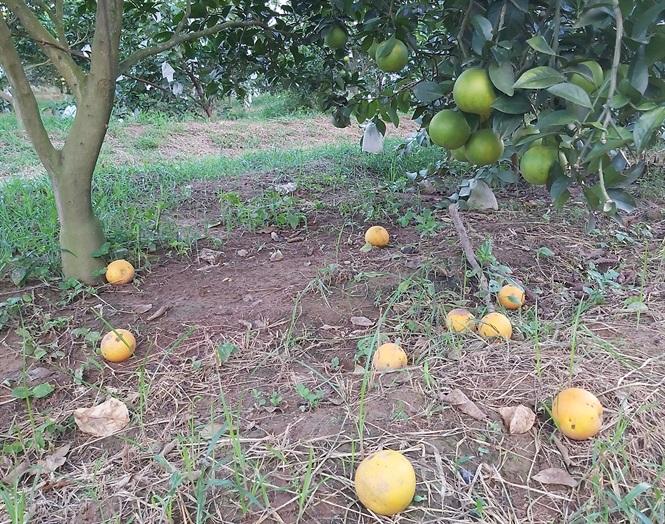 Đầu năm ăn quả thanh yên - 10