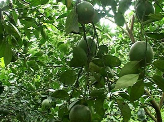 Đầu năm ăn quả thanh yên - 18